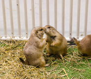 Prairie dog kiss for greeting Stock Photography