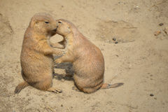 Prairie Dogs. Two prairie dogs kissing at the Henry Villa Zoo in Madison, WI royalty free stock photography