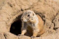 The Prairie Dog latin name Cynomys ludovicianus on the ground. Rodent animal coming from Africa.  stock image