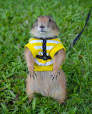 Prairie dog on lawn in summer Royalty Free Stock Photo