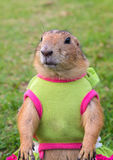Prairie dog on lawn in summer Stock Photography