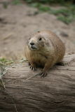 Prairie Dog on a Log Royalty Free Stock Photo