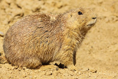 Prairie dog looking angry Royalty Free Stock Photos