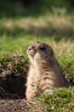 Prairie dog looking around. Little prairie dog coming out of the ground looking around Stock Photography
