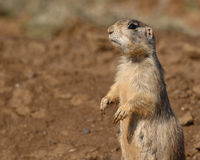 Prairie Dog Looking Around. A White-tailed Prairie Dog standing up for a better look around it's den in Colorado Stock Image