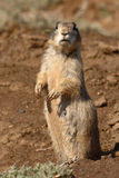 Prairie Dog Looking Around Royalty Free Stock Image