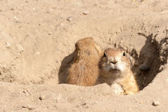 Prairie dog. Looking into the camera from it's hole royalty free stock image