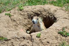 Prairie Dog. A Prairie dog looking out of nest royalty free stock photos
