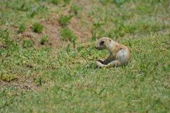 Prairie Dog. A Prairie dog looking out of nest royalty free stock image