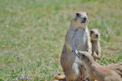 Prairie Dog. A Prairie dog looking out of nest stock images