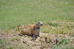 Prairie Dog. A Prairie dog looking out of nest royalty free stock images