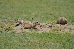 Prairie Dog. A Prairie dog looking out of nest royalty free stock photo
