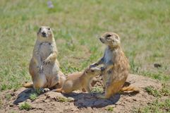 Prairie Dog. A Prairie dog looking out of nest stock photos