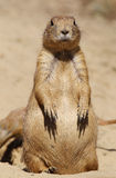 Prairie dog looking at you Royalty Free Stock Photos
