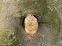 Prairie dog looking at you from his Royalty Free Stock Image