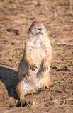 Prairie Dog Looks at Viewer Stock Image