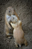 Prairie Dog Love Royalty Free Stock Images