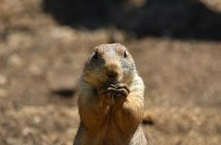 Prairie dog / marmot. A prairie dog / ground squirrel eating and looking towards the camera stock photography