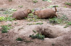 Prairie dog meet and greet. Outside of their home. These cute little rodents sniff noses to identify friend or foe, and reside in elaborate underground dirt royalty free stock image