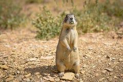 Prairie Dog Munching Royalty Free Stock Image
