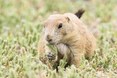 Prairie dog munching on grain. In Oklahoma royalty free stock image