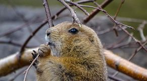 Prairie dog munching on twig. A prairie dog munching on a piece of twig in the wild stock photo