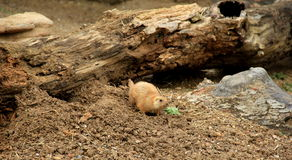 Prairie Dog in natural habitat, foraging for food Royalty Free Stock Photography