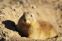 Prairie dog in nature Royalty Free Stock Images