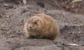 Prairie dog near its burrow. A prairie dog sitting on the ground near the burrow stock photography