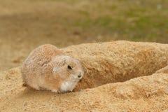 Prairie dog near its burrow, close-up Stock Image