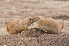 Prairie dog neighbors Stock Photo