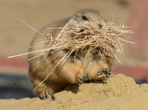 Prairie Dog Nest Building Stock Photo