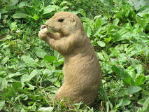 Prairie Dog nibbling on food. Royalty Free Stock Photos