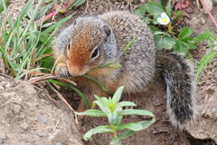 Prairie Dog Nibbling on a Plant Stock Photos