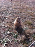 Prairie Dog in Oklahoma Stock Photography