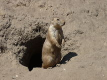 A prairie dog outside his burrow Stock Images