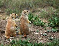 Prairie Dog Pair Royalty Free Stock Photography
