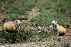 Prairie Dog Pair Stock Photos