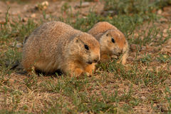 Prairie Dog Pair Feeding Royalty Free Stock Image