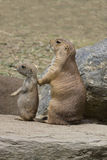 Prairie Dog - Parent and Baby  Royalty Free Stock Image