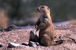 Prairie Dog Parent and Pup. Tucson, AZ - Circa Spring 2002 - Prairie dog parent and baby pup at the Arizona-Sonora Desert Museum Royalty Free Stock Images