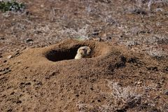 Prairie Dog Peeks Out of Burrow. This prairie dog cautiously peeks out of its den while barking, signaling to others of its kind that danger may be afoot Stock Photo