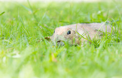Prairie dog peeping on grass Royalty Free Stock Photography