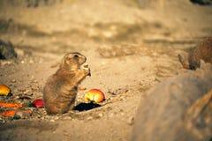 Prairie Dog. Photo of a Prairie dog in a zoo stock photos