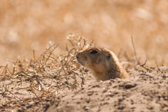 Prairie Dog Peaking out of His Hole Royalty Free Stock Image