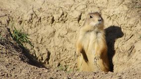 A prairie dog. Stock Photo