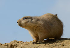 Prairie Dog Portrait Royalty Free Stock Photography