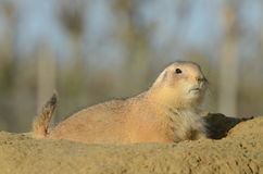Prairie Dog Portrait Royalty Free Stock Photos
