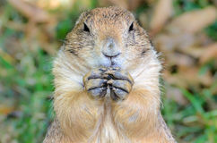 Prairie Dog Portrait. With large hands Stock Photos