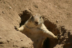 Prairie Dog Posing Stock Photos